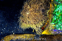 This Hairy Frog Fish was living in a 1 gallon paint can. ... by Stephen Juarez 